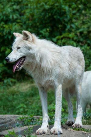 狼で捕われ、フェンスは青 写真素材