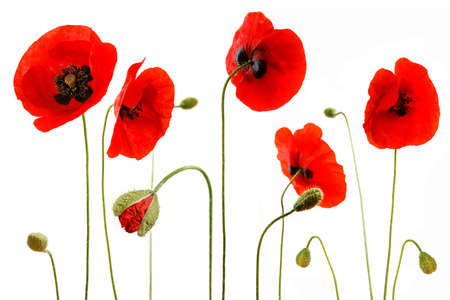 Cute red poppies with flower bud isolated on white background