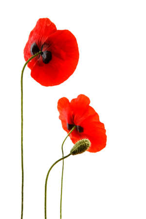 Red poppies isolated on white background in studio shoot Banque d'images