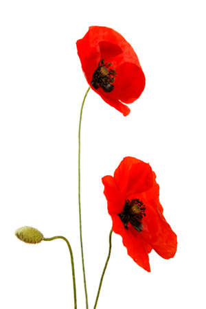 Red poppies and bud isolated on white background