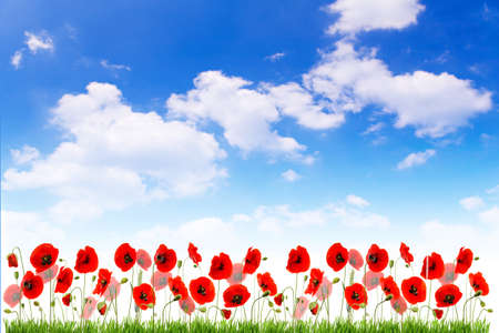 Multiple red poppies with grass and buds on blue sky