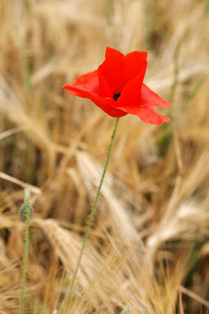 Red poppy isolated in a yellow wheat field