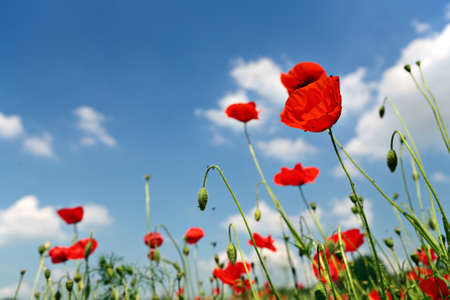 Several red poppies in the grass on a blue sky background Banque d'images