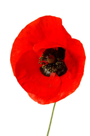 A single red poppy isolated on white background