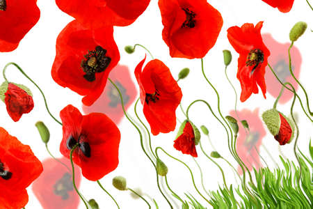 composition with red poppies and green grass isolated on white background Banque d'images