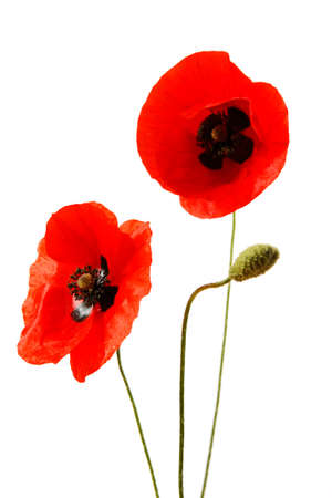 Red poppy flowers isolated on white background Banque d'images