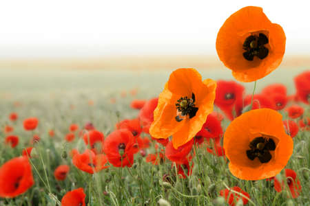 Beautiful red and orange poppies in a field in spring