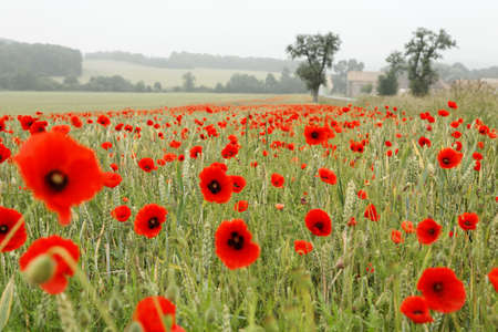 Wheat fields with red poppies and trees