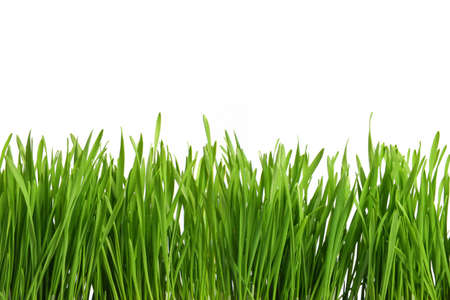 Green grass or Catnip cut out and isolated on white background for template and banner design Banque d'images