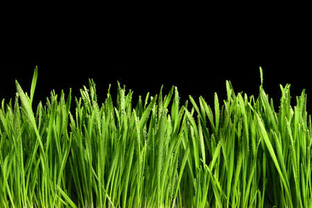 Green grass or Catnip cut out and isolated on black background for banner design and template