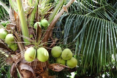 Tropical coconuts photo