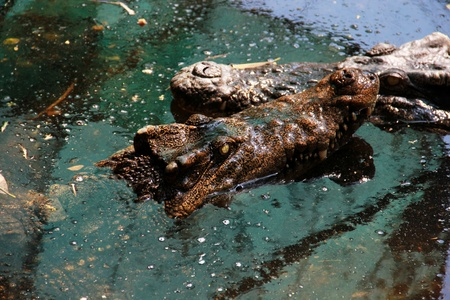 crocodile  Stock Photo - 22110972