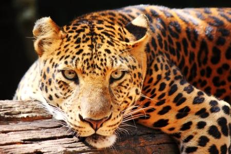 ツリー上で探して豹パンサー