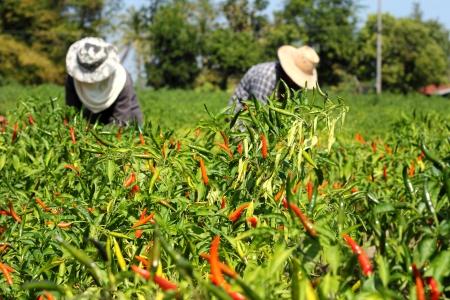 Farmers harvesting hot chilies pepper on  farm