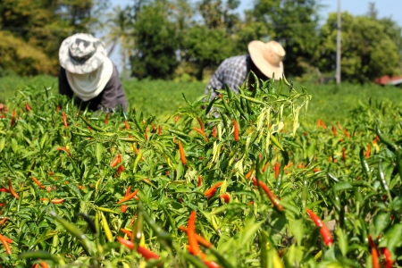 Farmers harvesting hot chilies pepper on  farm