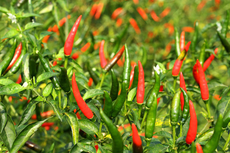 Fresh hot chili pepper on tree