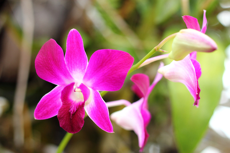 pink orchid blooming  on garden photo