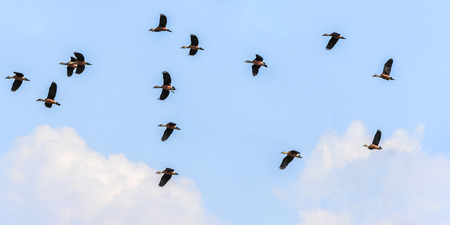 ringed:  ringed teal flying on blue sky background Stock Photo