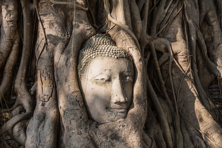 head of sandstone buddha statue in tree roots   photo