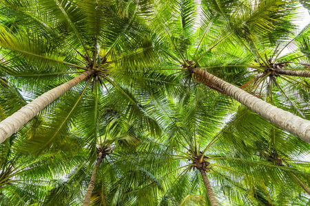 coconut palm  tree  perspective view from floor high up photo