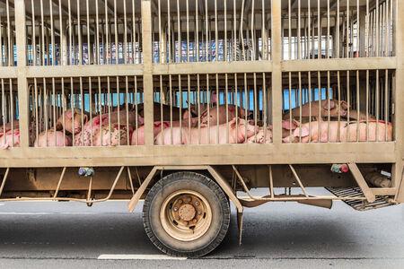 豚トラックでの輸送