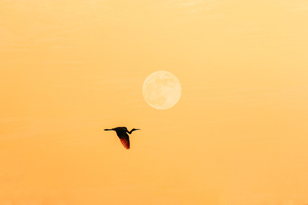 egret flying in the sky with full moon photo