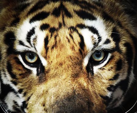 close up eye: chiudere occhio di tigre Archivio Fotografico