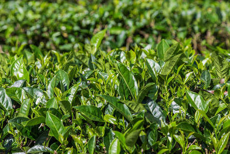 oolong tea: fresh oolong tea leaves on tree in plantation. Stock Photo