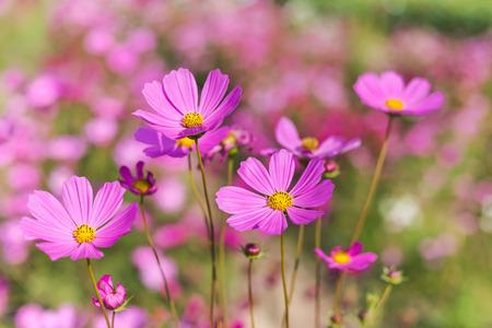 Roze kosmos bloemen bloeien op het veld