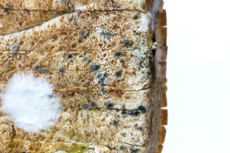 bread mold: Mold green and white spores on slices bread.