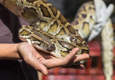 ball python: Burmese python,python molurus, python bivittatus in hand.