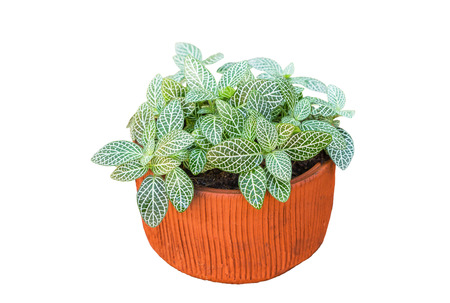 Nerve plant or Mosaic plant (Fittonia albivenis) , (Fittonia verschaffeltii) on white background