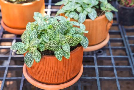 acanthaceae: Nerve plant or Mosaic plant (Fittonia albivenis) , (Fittonia verschaffeltii) selective focus
