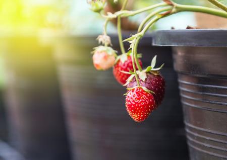 ripe strawberries on tree in black plastic pot