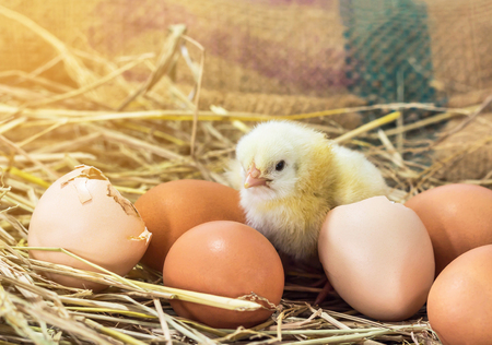 eggshell: baby chicken with broken eggshell in the straw nest on the morning.
