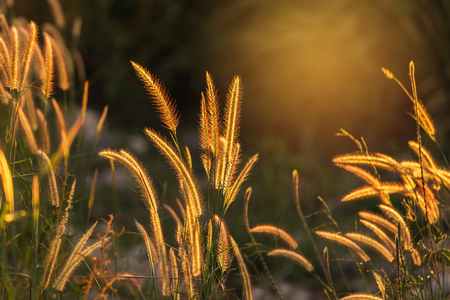 Close up silhouette tropical grass flower or setaceum pennisetum fountain grass on sunset background. Stock Photo