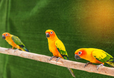 Close up colorful sun conure parrot birds (Aratinga solstitialis)  standing perch on the branch. in the cage .selective focus Stock Photo