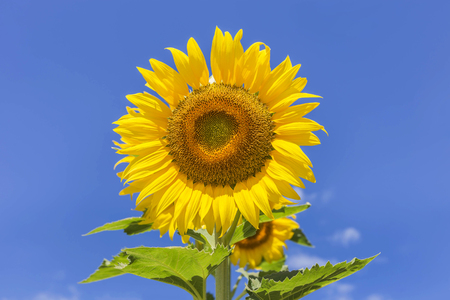 Sunflower blooming on blue sky background