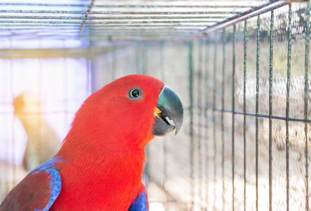 Close up female eclectus parrot (Eclectus roratus) in the cage .selective focus Stock Photo