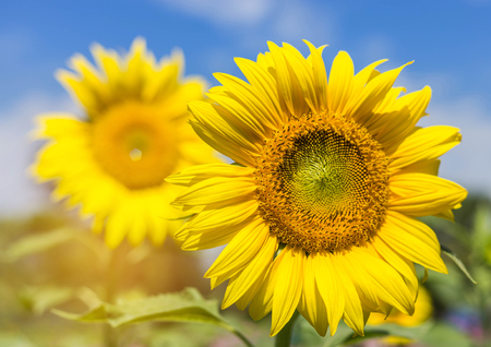 close up sunflowers  blooming on the field with  blue sky background