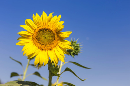 sunflower blooming on the field with  blue sky background