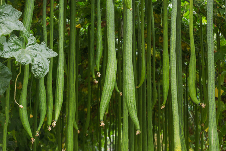 Many smooth loofah or long luffa ( Luffa cylindrica (L) M.Roem.) hanging on tree in greenhouse cultivation Standard-Bild