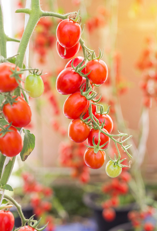 tomate de arbol: Close up red tomatoes hang on trees growing in greenhouse