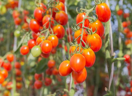 tomate de arbol: Close up red cherry tomatoes hang on trees growing in organic farm
