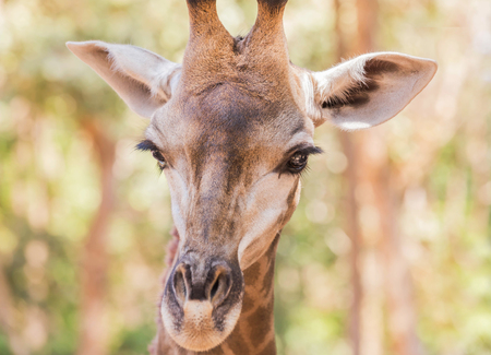 Close up young  head face of Giraffe (Giraffa camelopardalis ) in nature Stock Photo