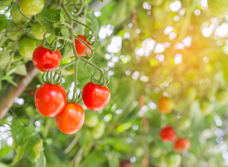 Close up red tomatoes hang on trees growing in garden