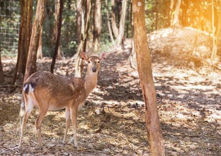 siamensis: Young siamese eld deer , Thamin, brow antlered deer ( Cervus eldi Siamensis) in natural