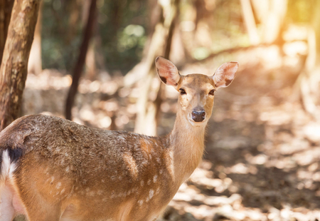 close up young sika deer or Spotted deer or Japanese deer (Cervus nippon) in natural Stock Photo