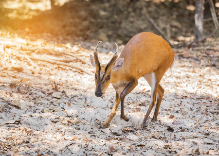 mouse: Young barking deer (Muntiacus muntjak) in the natural Stock Photo