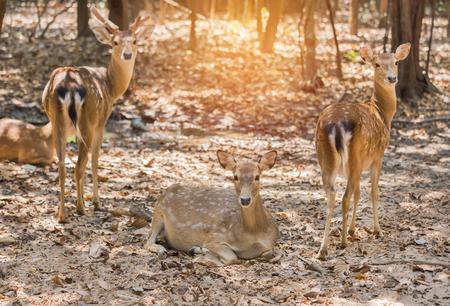 siamensis: young siamese eld deers , Thamin, brow antlered deers ( Cervus eldi Siamensis) in natural